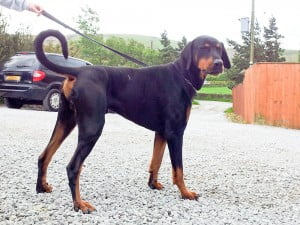 rescue dobermann dog