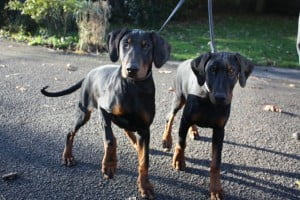 rescue doberman puppies
