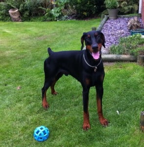 Dobe needing a home