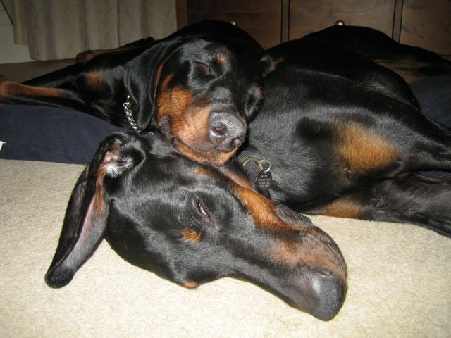 Sleeping Dobermanns