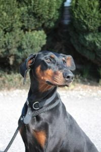 adopt a rescue dobermann puppy