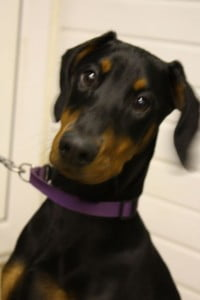 rescue doberman puppy