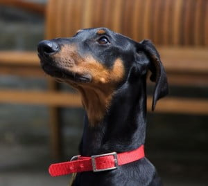 rehome a rescue dobermann puppy