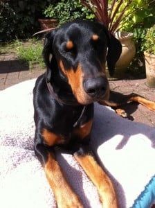 rehome rescue dobermann