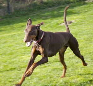 adopt a rescue dobermann