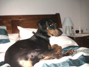 rehome rescue doberman