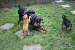 rehome dobermann puppy