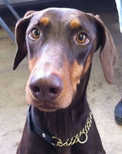rehome a rescue dobermann