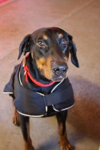 rehome dobermann dog