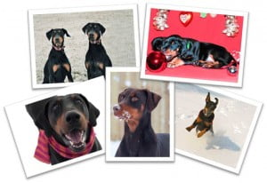 Dobermann Rescue Christmas Cards