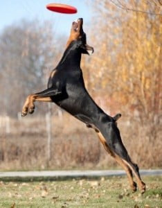 Rescue Dobermanns need plenty of exercise