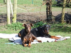 rehome a doberman dog