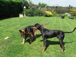 rehome a dobermann puppy