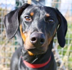 dobermann rescue rehome