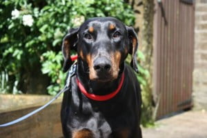 adopt dobermann rescue